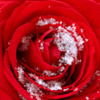 Stock Photo: Red Rose on Snow