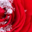 Frozen red rose in white frost. Rose petals in small ice crystal - Stock Photo