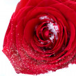 Frozen red rose in white frost. Rose petals in small ice crystal — Stock Photo