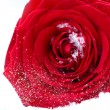 Royalty-Free Stock Photo: Frozen red rose in white frost. Rose petals in small ice crystal
