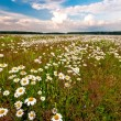 Meadow with camomiles - 
