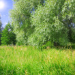 Stock Photo: Weeping willow
