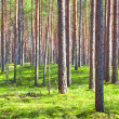 Coniferous forest — Stock Photo #5282461