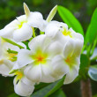 Image of White Flowers Plumeria - Foto Stock