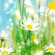 White camomile — Stock Photo