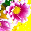Pink chrysanthemum macro - Stock Photo