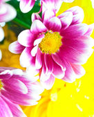 Pink chrysanthemum macro — Stock Photo
