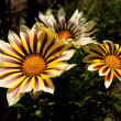 Stock Photo: Yellow Gazania