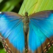 blue morpho butterfly — Stock Photo #4253669
