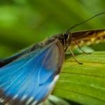 Blue Morpho Butterfly — Stock Photo #4253789