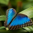 Blue Morpho Butterfly — Stock Photo #4254588