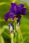 Close up of blooming iris — Stock Photo