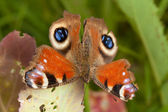 Tavus kuşu kelebek — Stok fotoğraf