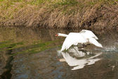 Goose landing on the river — Stock Photo