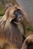 Gelada baboon — Stock Photo