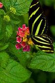 Mariposa longwing cebra — Foto de Stock