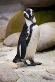 Jackass penguin standing — Stock Photo