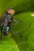 Fly on green leaf — Stock Photo