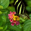 Zebra Longwing butterfly — Stock Photo #4431648