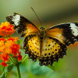 Stock Photo: Great Eggfly Butterfly