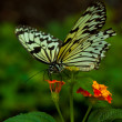 Idea Leuconoe butterfly — Stock Photo #4431653