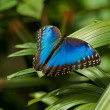 blue morpho butterfly — Stock Photo #4431877