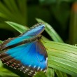 blue morpho butterfly — Stock Photo #4431958