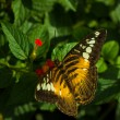 The clipper (parthenos sylvia) butterfly — Stock Photo