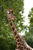 Reticulated giraffe portrait — Stock Photo