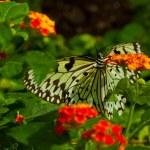 Idea Leuconoe butterfly — Stock Photo