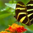 Zebra Longwing butterfly — Stock Photo #4762279