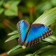 Blue Morpho Butterfly — Stock Photo #4879653