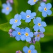 Stock Photo: Blue forget-me-not