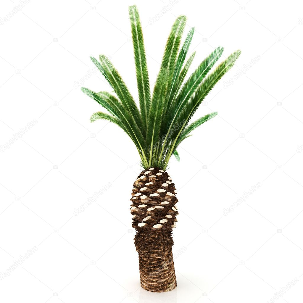 Palm tree isolated on white background — Stock Photo #4546395
