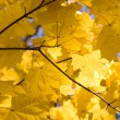 Autumn maple leaves — Foto de Stock