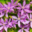 Clematis flower background — Stock Photo