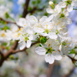 Blossom cherry tree — Stock Photo #5351404