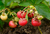 Yield of Strawberries — Stock Photo