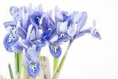 Iris flowers — Stock Photo
