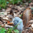 Little squirrel eating nut in park at spring — Stok fotoğraf
