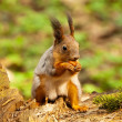 Little squirrel eating nut in park at spring — Stock Photo