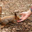 Little squirrel taking nuts from human hand in park — Stock Photo