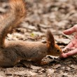 Little squirrel taking nuts from human hand in park — Стоковая фотография