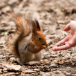 Stock Photo: Little squirrel taking nuts from humhand in park