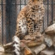 Stock Photo: Young Amur or Manchurian leopard - one of the rarest felids in the world