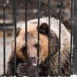 Young sadness brown bear in winter zoo — Stock Photo
