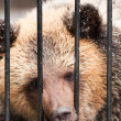 Young sadness brown bear in winter zoo — Stock Photo #4107860