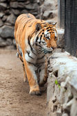Tiger in a zoo with fallen snow — Stock Photo