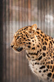 Amur or Manchurian leopard - one of the rarest felids in the world — Stock Photo