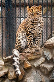 Young Amur or Manchurian leopard - one of the rarest felids in the world — Stock Photo